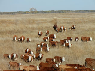 simmental cattle and red angus cattle for sale