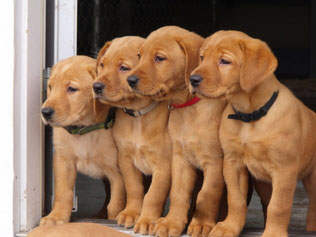 Rascal Flats Labs- Fox Red Labrador breeder in Saskatchewan,Canada